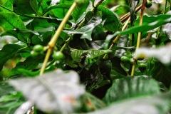 Gwatemala - Panajachel - Reserva Natural de Atitlan - krzew kawy