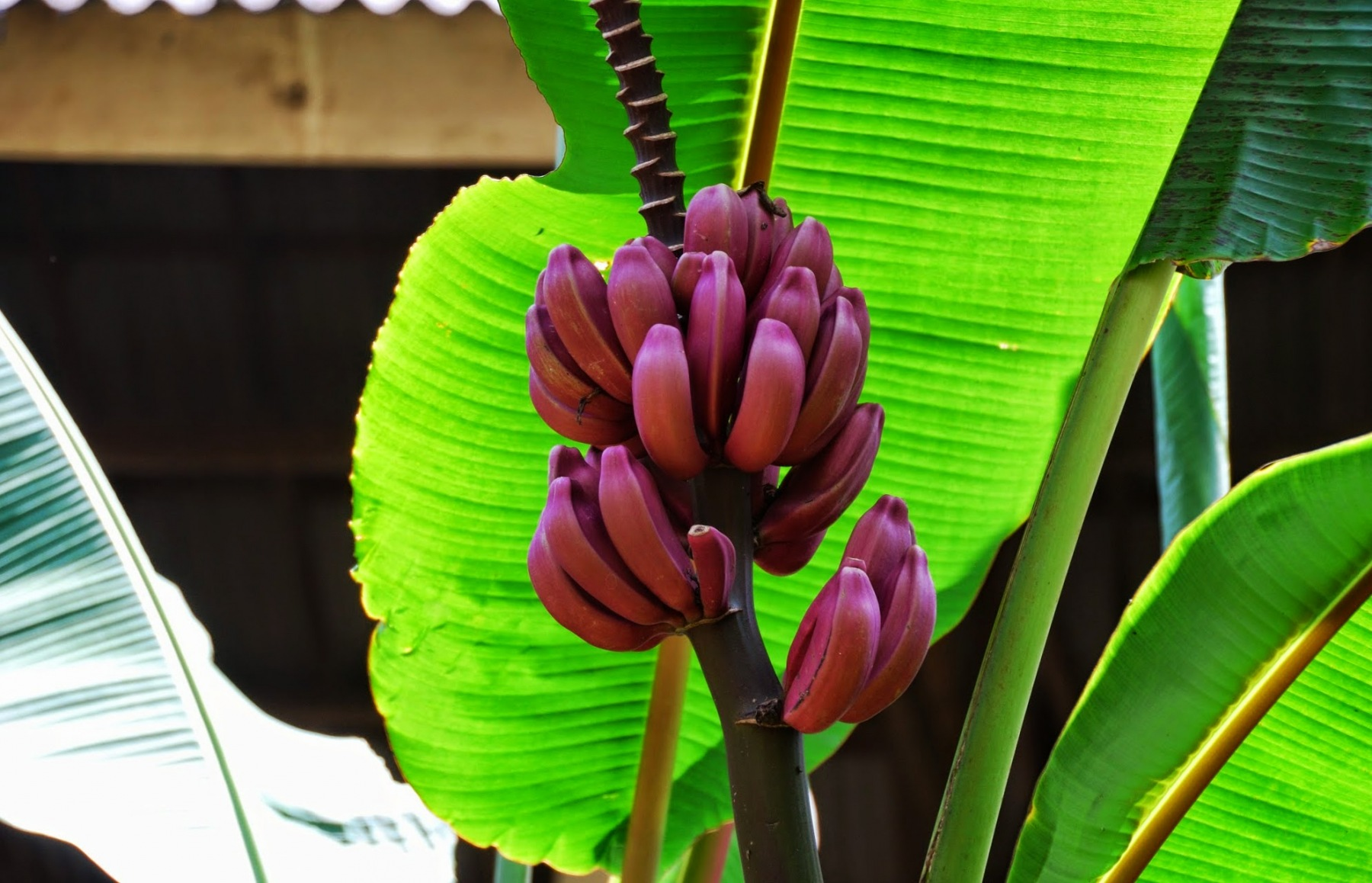 """Bali - """"fioletowe"""" banany"""