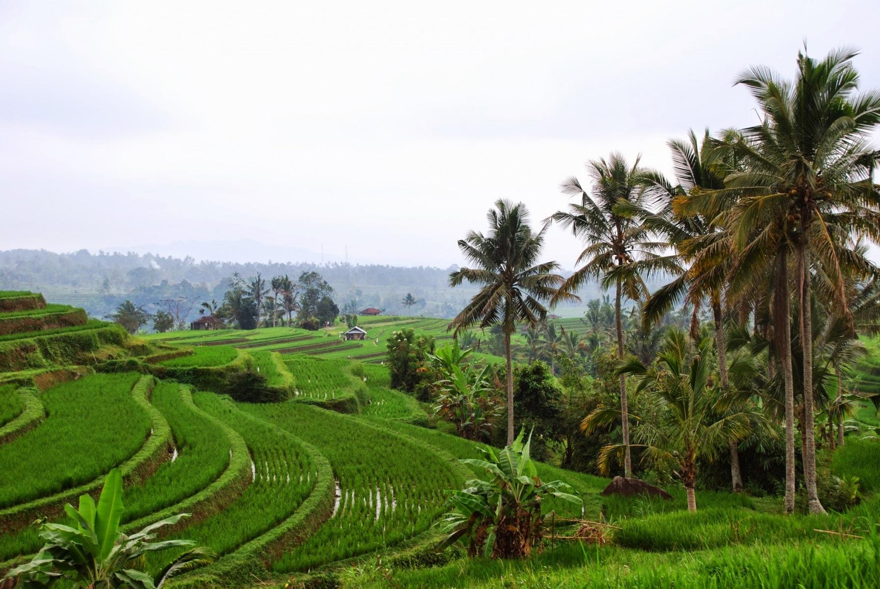 Bali - pola ryżowe w okolicy Jatiluwih