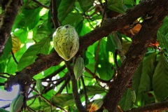 Bali - kakaowiec
