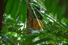 Bali - papaja