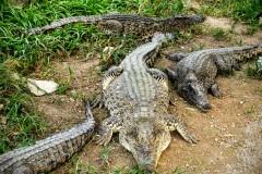Ciénaga de Zapata - Criadero de Cocodrilos