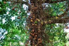 Honduras - Tela - Ogród botaniczny Lancetilla